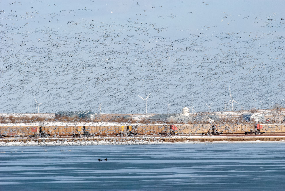 Snow Geese at Freezeout
